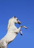 Stallion e cielo Immagine Stock Libera da Diritti