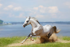 Stallion ed acqua bianchi Immagini Stock