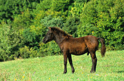 Stallion foal. On the pasture Royalty Free Stock Photo