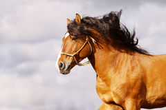 Stallion galloping Royalty Free Stock Image