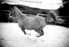 Stallion galloping in stuf farm stock photography