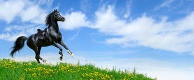 Stallion gallops in field. Arabian black stallion gallops in field Stock Images