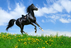Stallion gallops in field Stock Photos
