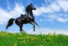 Stallion gallops in field. Arabian black stallion gallops in field Stock Photos