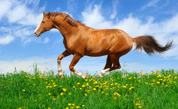 Stallion gallops in field Royalty Free Stock Image