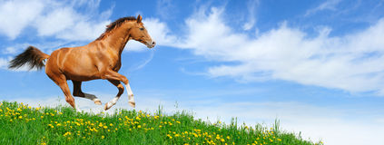 Stallion gallops in field. Trakehner sorrel stallion gallops in field Stock Image