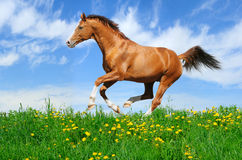 Stallion gallops in field. Trakehner sorrel stallion gallops in field Stock Photography