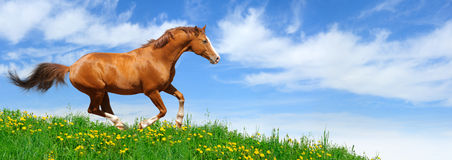 Stallion gallops in field. Trakehner sorrel stallion gallops in field Royalty Free Stock Images