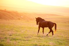 Stallion Royalty Free Stock Images