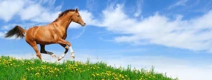 Stallion galoppiert auf dem Gebiet Stockbild