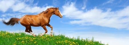 Stallion galoppiert auf dem Gebiet Lizenzfreie Stockbilder