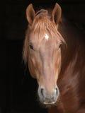 Stallion gegen schwarzen Hintergrund Stockfotografie