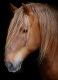 Stallion gegen schwarzen Hintergrund Stockbilder