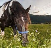 Stallion grazing Stock Photography