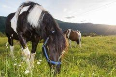 Stallion grazing Royalty Free Stock Photos