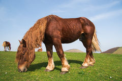 Stallion grazing in the meadow Stock Photos