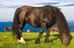 Stallion grazing in the morning meadow Stock Photos