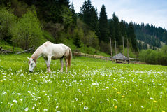 Stallion grazing in a pasture Stock Image