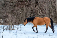Stallion grazing in winter Royalty Free Stock Photography