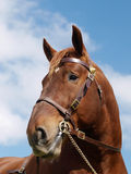 Stallion Head Shot Royalty Free Stock Images