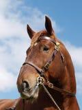 Stallion Head Shot Royalty Free Stock Images