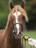 Stallion Headshot Stock Photo
