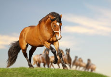 Stallion with herd. Galloping in field Stock Photography