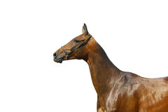 Stallion isolated. On white background Royalty Free Stock Images