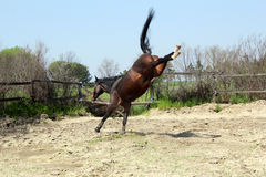 Stallion kicking in paddock Stock Images