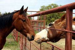 Stallion and Mare. Paint stallion visiting through fence with young bay mare stock photos