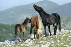 Stallion and mare Royalty Free Stock Image