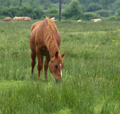 stallion marrone Fotografia Stock