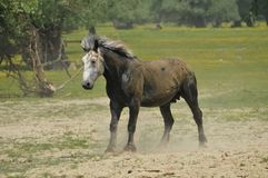 Stallion in the meadow. Beautiful gray stallion running in the meadow Stock Image