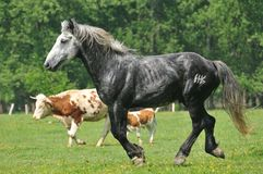 Stallion in the meadow. Beautiful gray stallion running in the meadow Stock Photos