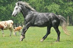 Stallion in the meadow. Beautiful gray stallion running in the meadow Royalty Free Stock Image