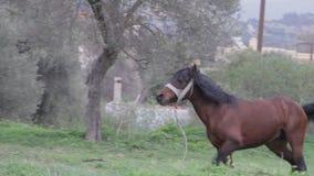 Stallion on a meadow in Greece