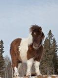 Stallion miniatura Fotografia Stock Libera da Diritti