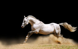Stallion moving forward Royalty Free Stock Photos