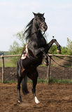 Stallion nero Immagini Stock