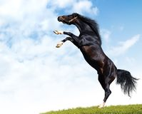 Stallion nero arabo Fotografia Stock