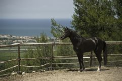 Stallion nero sul ranch Fotografie Stock Libere da Diritti