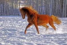 Stallion playing Stock Photos