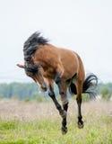 Stallion playing. Bay young wild stallion playing Royalty Free Stock Image