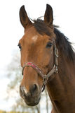 Stallion portrait Royalty Free Stock Images