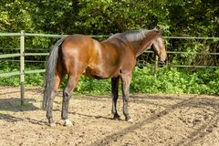 Stallion portrait from the back of a brown draft horse in a manege.  royalty free stock photos