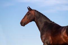 Stallion portrait Stock Image