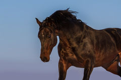 Stallion portrait Royalty Free Stock Image