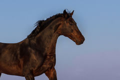 Stallion portrait. Bay stallion portrait in motion against  blue sky Royalty Free Stock Photo