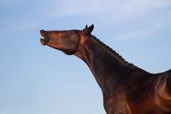 Stallion portrait Stock Photo