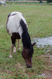 Stallion Stock Photography